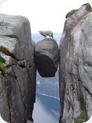 Mouton en facheuse posture