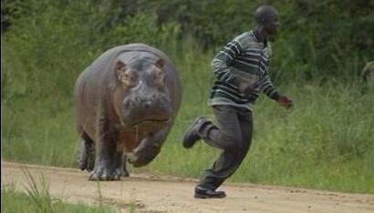 Hippo chassant le naif